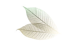 Skeletal Leaves on White. Skeletal leaves in high key on a white background royalty free stock image