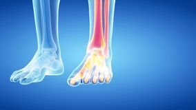 The skeletal leg and foot