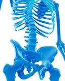 The skeletal lumbar spine Stock Photos