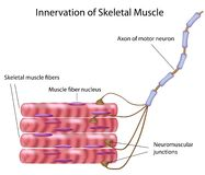 Skeletal muscle. Connection between skeletal muscle and motor neuron, eps8 Stock Photos