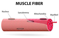 The skeletal muscle fiber. Skeletal muscle cells are tubular. They have multiple nuclei. Skeletal muscle is striated, it has an alternating pattern of light and Royalty Free Stock Photography