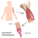 Skeletal muscle structure. With example of the biceps, eps10 Royalty Free Stock Photo