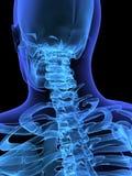 Skeletal nack. 3d rendered anatomy of a human nack Stock Photos