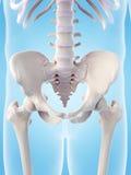 The skeletal sacrum Royalty Free Stock Photo