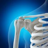 The skeletal shoulder royalty free stock photo