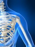 Skeletal shoulder Royalty Free Stock Photography