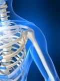 Skeletal shoulder. 3d rendered anatomy illustration of a human skeletal shoulder Royalty Free Stock Photography