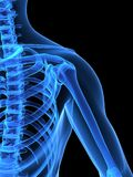Skeletal shoulder Royalty Free Stock Photo