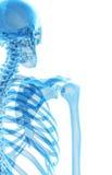 The skeletal shoulder Royalty Free Stock Images