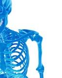 The skeletal shoulder Stock Image