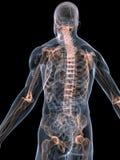 Skeletal system Stock Images