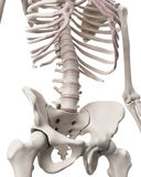 The skeletal system - the hip and lower spine Royalty Free Stock Photography