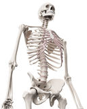 The skeletal system - the thorax Stock Photos