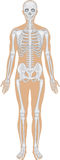Skeletal system on white Royalty Free Stock Photo