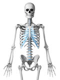 Skeletal thorax Stock Image