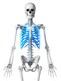 Skeletal thorax Stock Photography