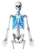 Skeletal thorax. 3d rendered illustration - skeletal thorax Stock Photography