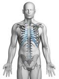 Skeletal thorax. 3d rendered illustration - skeletal thorax Stock Photos
