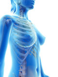 The skeletal thorax Stock Images