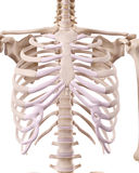 The skeletal thorax Royalty Free Stock Images