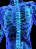 Skeletal torso. 3d rendered anatomy of a human torso Stock Photography