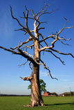 Skeletal Tree. A large dead tree, branches thrown out in all angles, shows its structure against a clear blue sky Stock Image