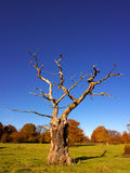 Skeletal tree in the autumn. With fall tree colour background and a deep blue sky. Taken in England stock images