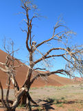 Skeletal tree in the Kalahari desert Stock Image