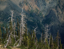 Skeletal Trees at Fortune Cookie Pass, Alpine Lakes, Cascade Range, Washington royalty free stock photography