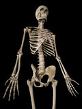 The skeletal upper body Stock Photo