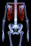 Skeleton Royalty Free Stock Photos