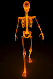 Skeleton. Walking skeleton by X-rays in red. 3D image Royalty Free Stock Images