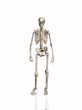 Skeleton. Royalty Free Stock Images
