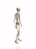 Skeleton. Stock Photo