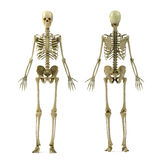 Skeleton. Male skeleton isolated on white Royalty Free Stock Image