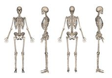 Skeleton 3D render Stock Images