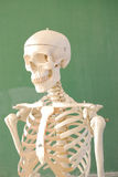 Skeleton. Human skeleton in front of school table Stock Photography