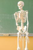 Skeleton. Back to school - human skeleton in front of an elementary school table Royalty Free Stock Image