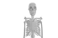 Skeleton Stock Photography