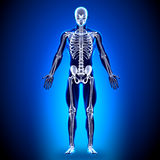 Skeleton - Anatomy Bones Stock Image
