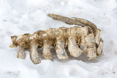 Skeleton of an animal on snow. Skeleton of an animal at Igdir, Turkey Stock Image