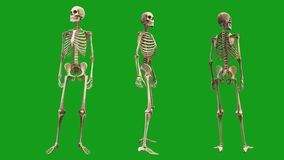 Skeleton animations with green screen background