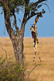 The skeleton of an antelope hanging in a tree Royalty Free Stock Photography