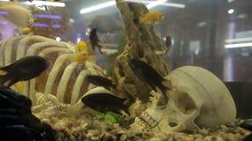 The skeleton in the aquarium. Artificial skeleton lies in the aquarium stock video