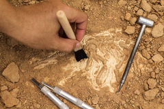 Skeleton and archaeological tools.Training for dig fossil.Simula. Ted same as real digging stock image