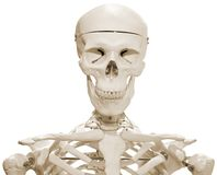 Skeleton Attrappe Stockbild