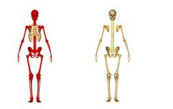 Skeleton back Stock Photos