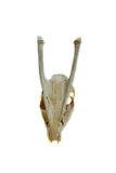 Skeleton barking deer bone. On White background Royalty Free Stock Photography
