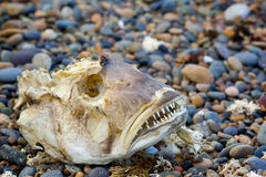 Skeleton big fish Royalty Free Stock Photography