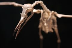 Skeleton of bird in flight Stock Images